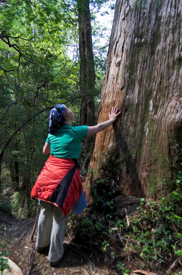 giant old alerce trees (like Sequoias)