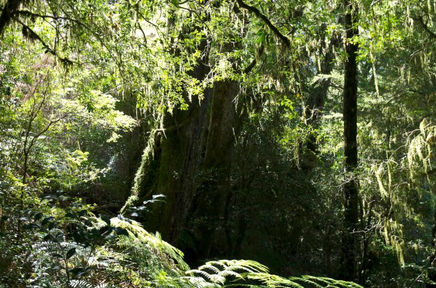 trees dripping with moss, very reminiscent of north California or Oregon