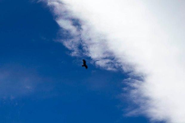 condor soaring overhead