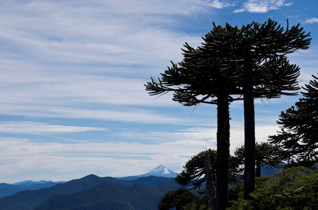 silhouette of monkey puzzle trees