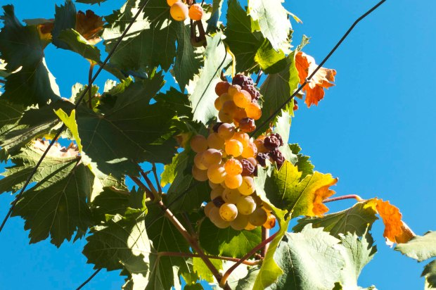 muscat grapes waiting to be turned into delicious Pisco