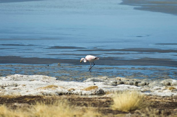 the James flamingo (a rare breed) is found only on high altitude lakes like this one