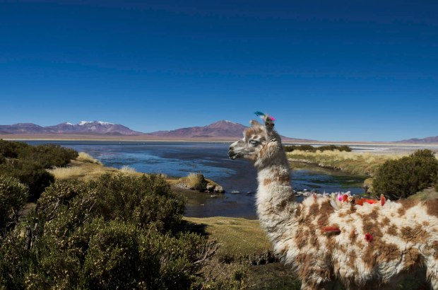 llamas surround the area of the Salar de Tara
