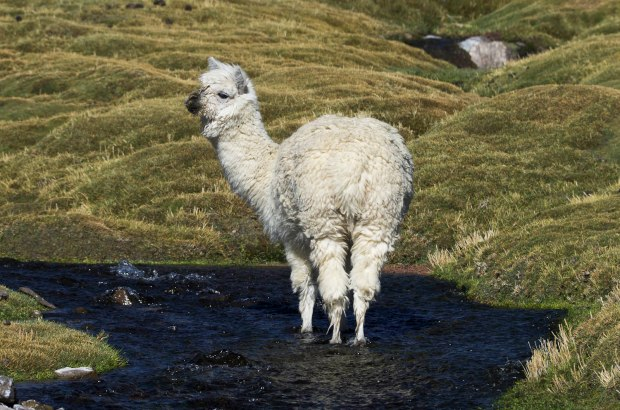 alpacas love wetlands like these here.  It's one reason their fur is so soft