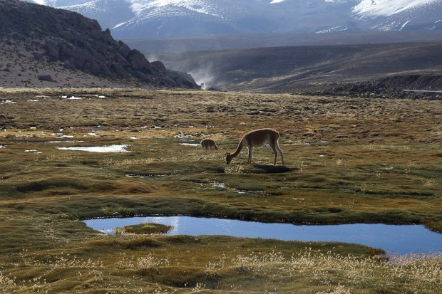 vicuñas, another type of camelid (like alpacas, llamas) are only found at high altitudes