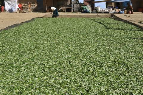 coca leaves drying out on the street