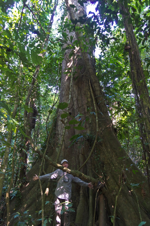 giant trees in the Amazon