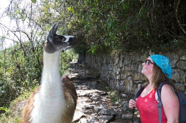 llama on the trail to sun gate