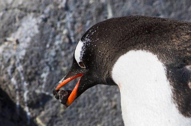 gentoo penguin building his nest