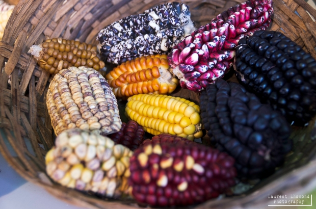 just a few of the varieties of corn found in this country